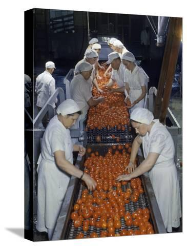 Tomato Factory Workers Remove Bruised Fruit from a Conveyor Belt-Joseph Baylor Roberts-Stretched Canvas Print