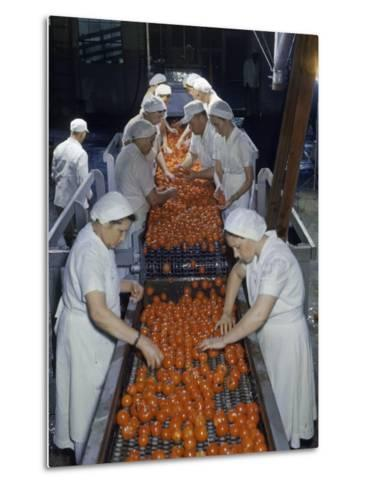 Tomato Factory Workers Remove Bruised Fruit from a Conveyor Belt-Joseph Baylor Roberts-Metal Print