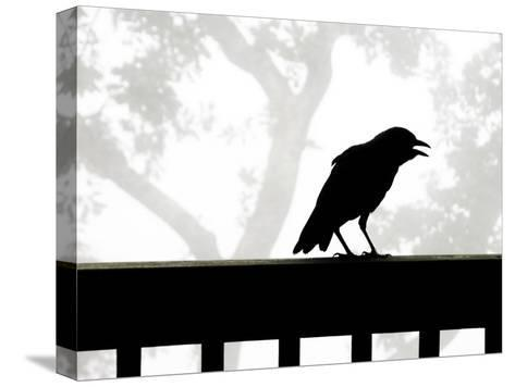 American Crow Silhouetted Against a Grey Sky with His Beak Open-White & Petteway-Stretched Canvas Print