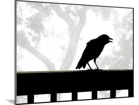 American Crow Silhouetted Against a Grey Sky with His Beak Open-White & Petteway-Mounted Photographic Print