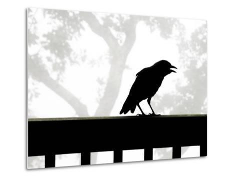 American Crow Silhouetted Against a Grey Sky with His Beak Open-White & Petteway-Metal Print
