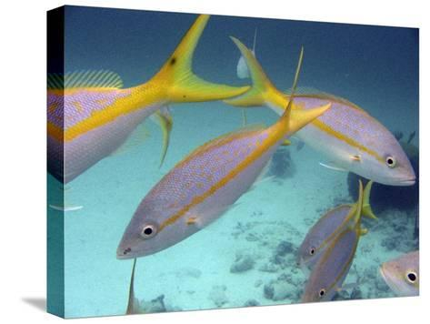 School of Tropical Fish in Clear Blue Water-Greg Dale-Stretched Canvas Print