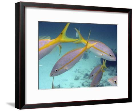 School of Tropical Fish in Clear Blue Water-Greg Dale-Framed Art Print