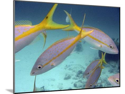 School of Tropical Fish in Clear Blue Water-Greg Dale-Mounted Photographic Print