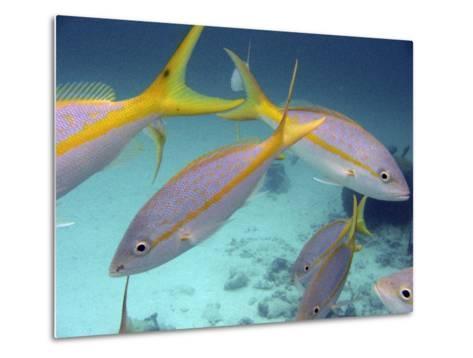 School of Tropical Fish in Clear Blue Water-Greg Dale-Metal Print