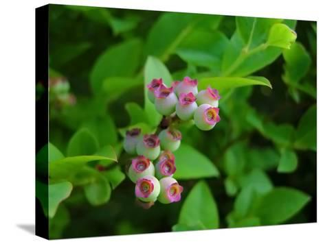 Unripe Blueberries Offer Promise of Fruit and Sustenance to Wildlife-White & Petteway-Stretched Canvas Print