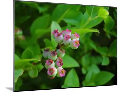 Unripe Blueberries Offer Promise of Fruit and Sustenance to Wildlife-White & Petteway-Mounted Photographic Print