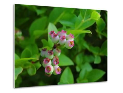 Unripe Blueberries Offer Promise of Fruit and Sustenance to Wildlife-White & Petteway-Metal Print