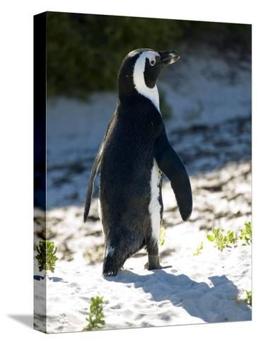 Jackass Penguin on the Beach in South Africa-Stacy Gold-Stretched Canvas Print