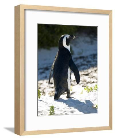Jackass Penguin on the Beach in South Africa-Stacy Gold-Framed Art Print