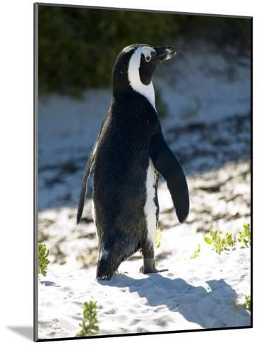 Jackass Penguin on the Beach in South Africa-Stacy Gold-Mounted Photographic Print