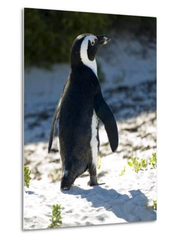 Jackass Penguin on the Beach in South Africa-Stacy Gold-Metal Print