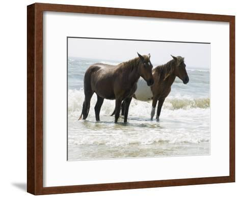 Wild Horses Bathe in the Atlantic Ocean Off the Coast of Maryland-Stacy Gold-Framed Art Print