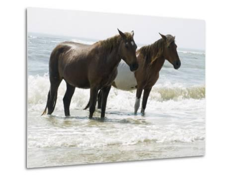 Wild Horses Bathe in the Atlantic Ocean Off the Coast of Maryland-Stacy Gold-Metal Print