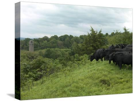Black Angus Cattle-xPacifica-Stretched Canvas Print