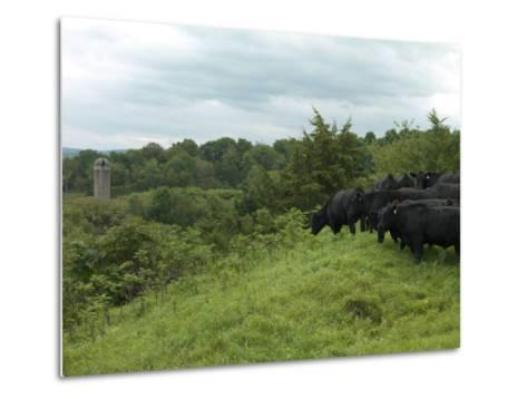 Black Angus Cattle-xPacifica-Metal Print
