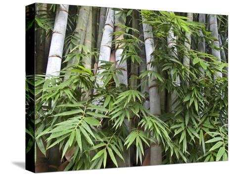 Close View of Bamboo with Leaves-Michael Melford-Stretched Canvas Print