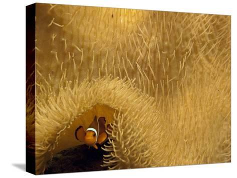 Clown Fish Swims under a Sea Anemone in Mossel Bay-Michael Melford-Stretched Canvas Print