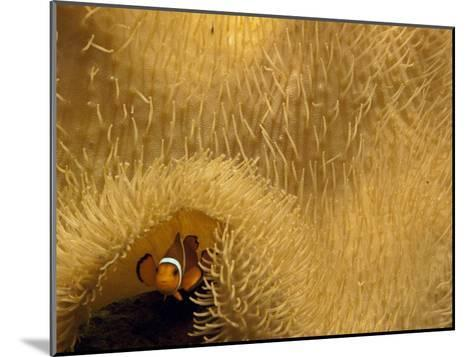 Clown Fish Swims under a Sea Anemone in Mossel Bay-Michael Melford-Mounted Photographic Print