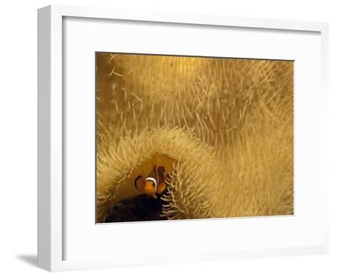 Clown Fish Swims under a Sea Anemone in Mossel Bay-Michael Melford-Framed Art Print