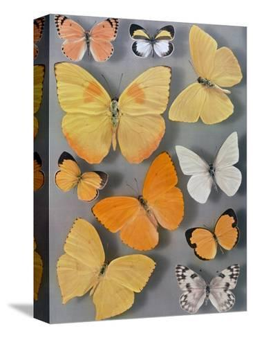 Collection of Butterflies-Willard Culver-Stretched Canvas Print