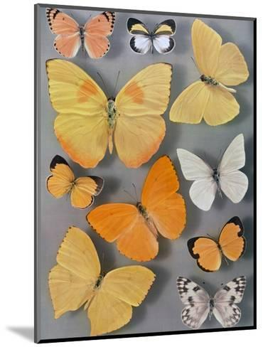 Collection of Butterflies-Willard Culver-Mounted Photographic Print