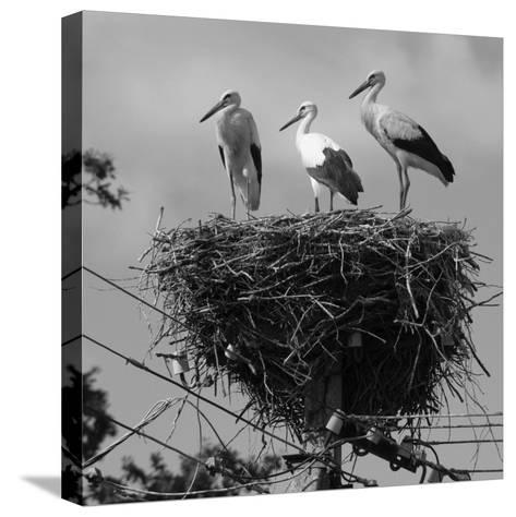 Three Young Storks Standing on their Nest-Keenpress-Stretched Canvas Print