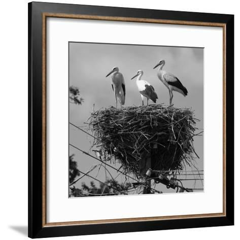 Three Young Storks Standing on their Nest-Keenpress-Framed Art Print