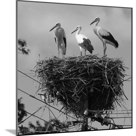 Three Young Storks Standing on their Nest-Keenpress-Mounted Photographic Print