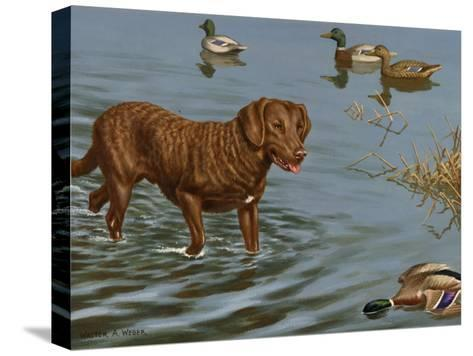 Chesapeake Bay Retriever Wades in Water to Retrieve a Dead Duck-Walter Weber-Stretched Canvas Print