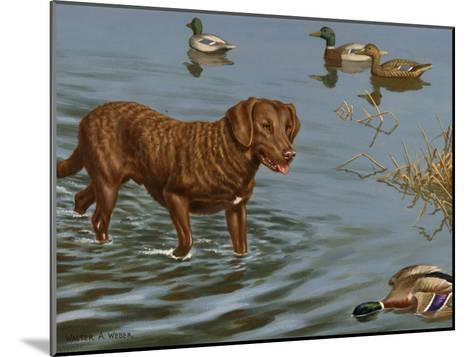 Chesapeake Bay Retriever Wades in Water to Retrieve a Dead Duck-Walter Weber-Mounted Photographic Print