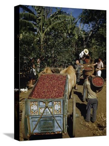 Coffee Growers Fill Decorated Oxcart with Harvested Coffee Beans-Luis Marden-Stretched Canvas Print