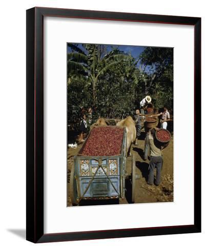 Coffee Growers Fill Decorated Oxcart with Harvested Coffee Beans-Luis Marden-Framed Art Print
