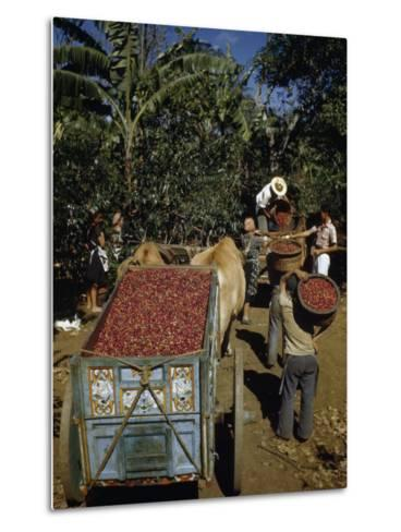Coffee Growers Fill Decorated Oxcart with Harvested Coffee Beans-Luis Marden-Metal Print