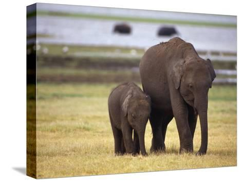 Tiny Asian Elephant Calf and it's Mother Graze on Dry Grasses-Jason Edwards-Stretched Canvas Print