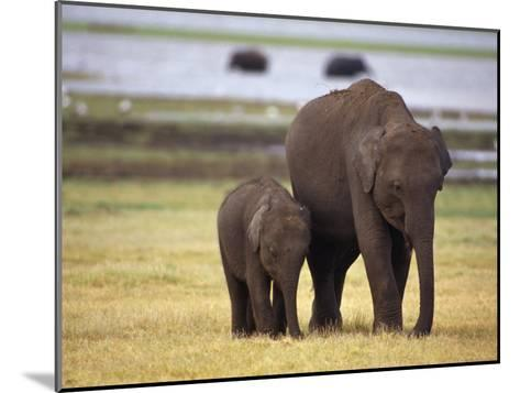 Tiny Asian Elephant Calf and it's Mother Graze on Dry Grasses-Jason Edwards-Mounted Photographic Print