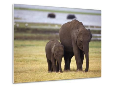 Tiny Asian Elephant Calf and it's Mother Graze on Dry Grasses-Jason Edwards-Metal Print