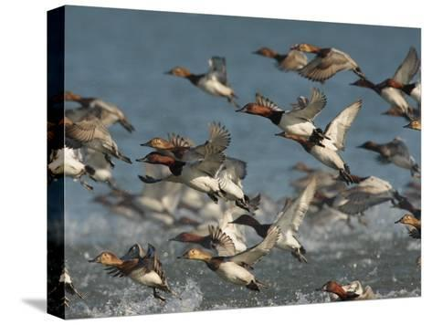 Canvasback Ducks, Aythya Valisineria, Taking Flight from the Water-George Grall-Stretched Canvas Print