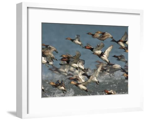 Canvasback Ducks, Aythya Valisineria, Taking Flight from the Water-George Grall-Framed Art Print
