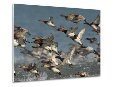 Canvasback Ducks, Aythya Valisineria, Taking Flight from the Water-George Grall-Metal Print