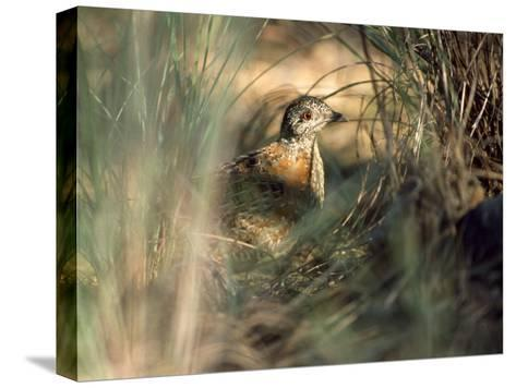 Painted Button-Quail, Turnix Varia Camouflaged in the Grass-Jason Edwards-Stretched Canvas Print