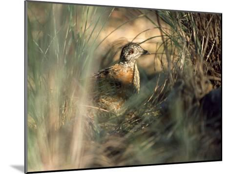 Painted Button-Quail, Turnix Varia Camouflaged in the Grass-Jason Edwards-Mounted Photographic Print