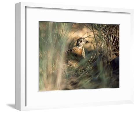 Painted Button-Quail, Turnix Varia Camouflaged in the Grass-Jason Edwards-Framed Art Print
