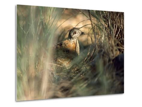 Painted Button-Quail, Turnix Varia Camouflaged in the Grass-Jason Edwards-Metal Print