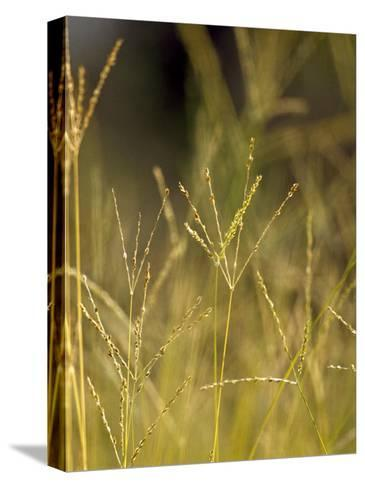 Sunset Catches the Seeding Heads of Wild Grasses in a Native Grassland-Jason Edwards-Stretched Canvas Print