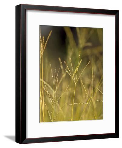 Sunset Catches the Seeding Heads of Wild Grasses in a Native Grassland-Jason Edwards-Framed Art Print