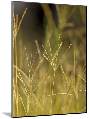 Sunset Catches the Seeding Heads of Wild Grasses in a Native Grassland-Jason Edwards-Mounted Photographic Print