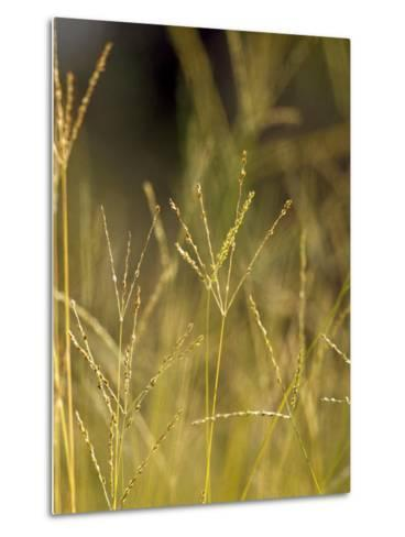 Sunset Catches the Seeding Heads of Wild Grasses in a Native Grassland-Jason Edwards-Metal Print