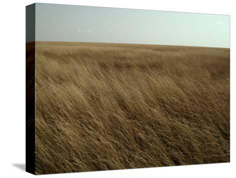 Dry Golden Sea of Grass Waves in the Wind on a Vast Plain-Jason Edwards-Stretched Canvas Print