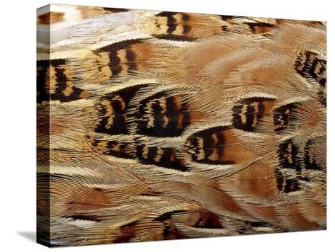 Feathers of Taxidermy Preserved Buff Breasted Button Quail-Jason Edwards-Stretched Canvas Print